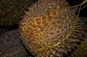 THE KING OF FRUIT - DURIAN (PALOPO)