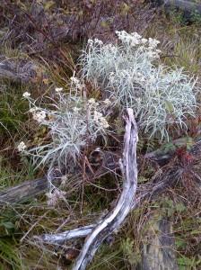 Bunga Edelweis = Bunga Abadi