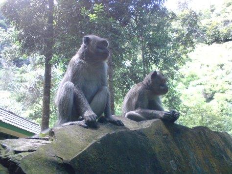 Banyak Monyet (Long tail) yang hidup di Object Wisata Cuban Rondo (makin nampak asri)