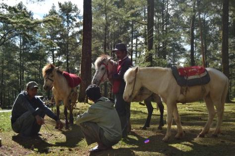 Kuda-Kuda di Hutan Pinus Malino