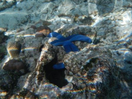 bintang laut warna biru